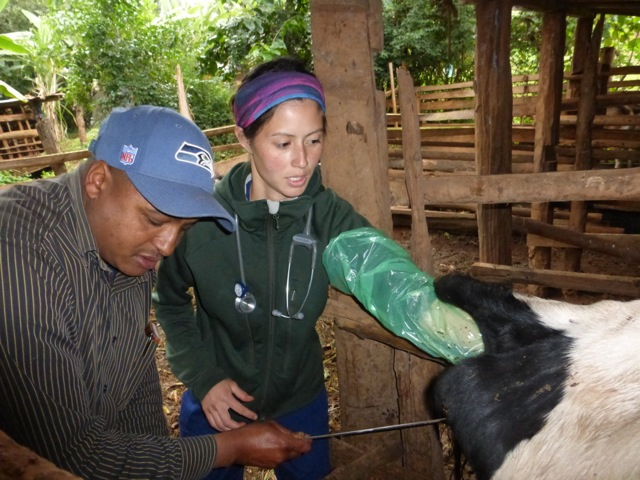 vets hand in cow