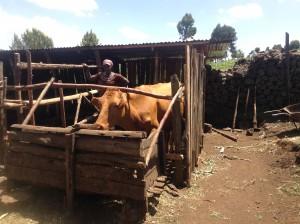naari women cow