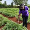 Growing potatoes in Meru county